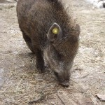 Cinghiale (Sus scrofa)