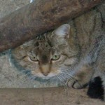 Gatto Selvatico (Felis silvestris)