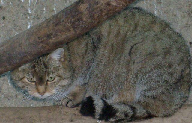 Gatto Selvatico Felis Silvestris Centro Recupero Animali Selvatici