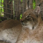 Lince (Lynx lynx)