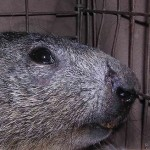 Marmotta (Marmota marmota)