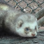 Furetto (Mustela putorius furo)