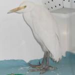 "<a href=""http://www.centrorecuperoselvatici.it/tag/airone-guardabuoi/"">Airone Guardabuoi (<em>Bubulcus ibis</em>)</a>"
